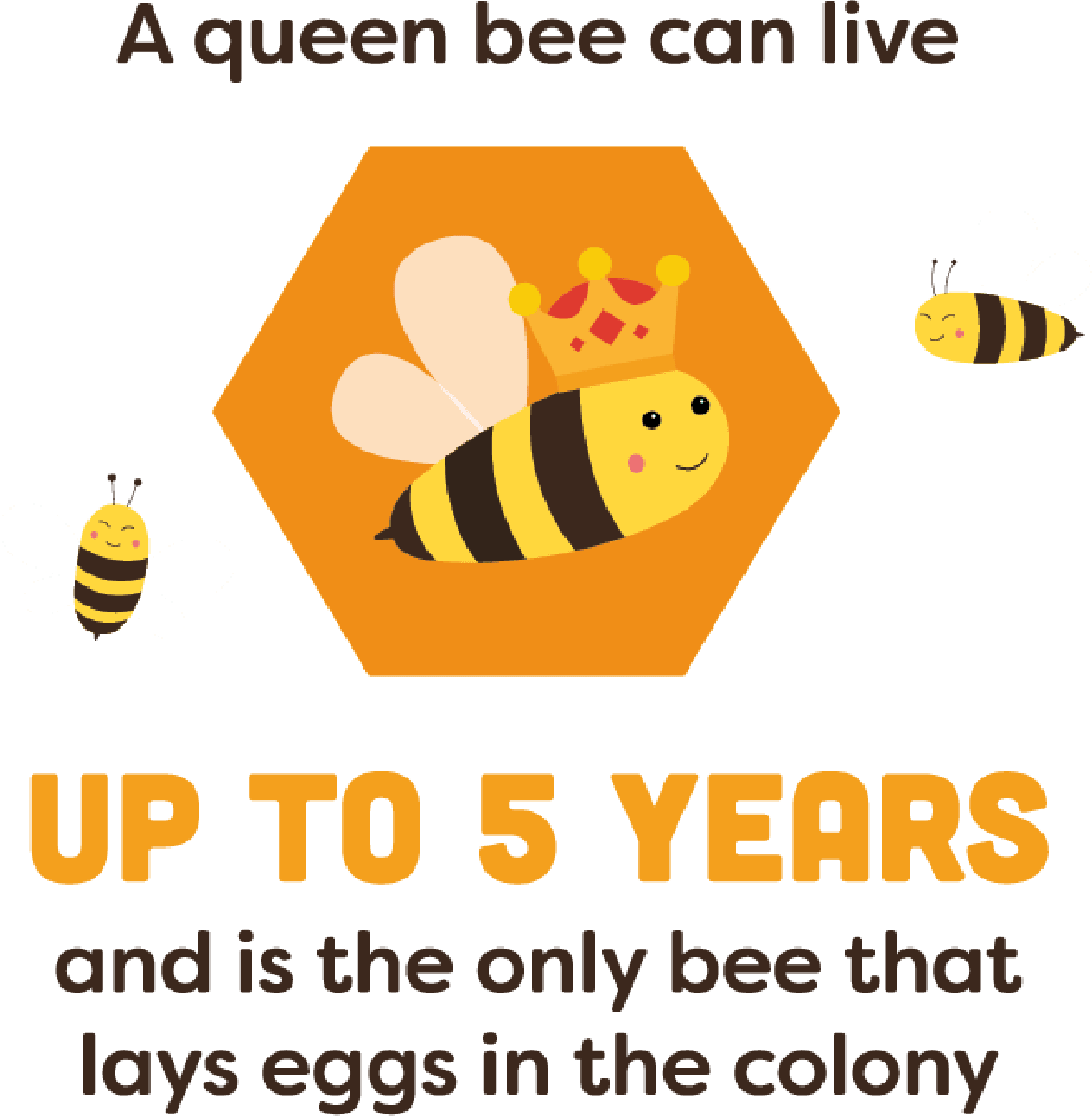 A queen bee can live up to 5 years and is the only bee that lays eggs in the colony